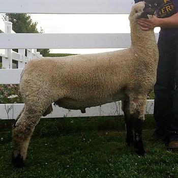 Image Barns Club Lambs (Kevin)